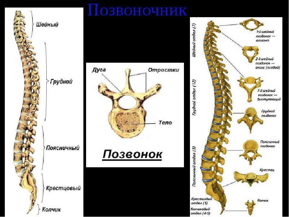 Особенности строения шейного отдела позвоночника человека