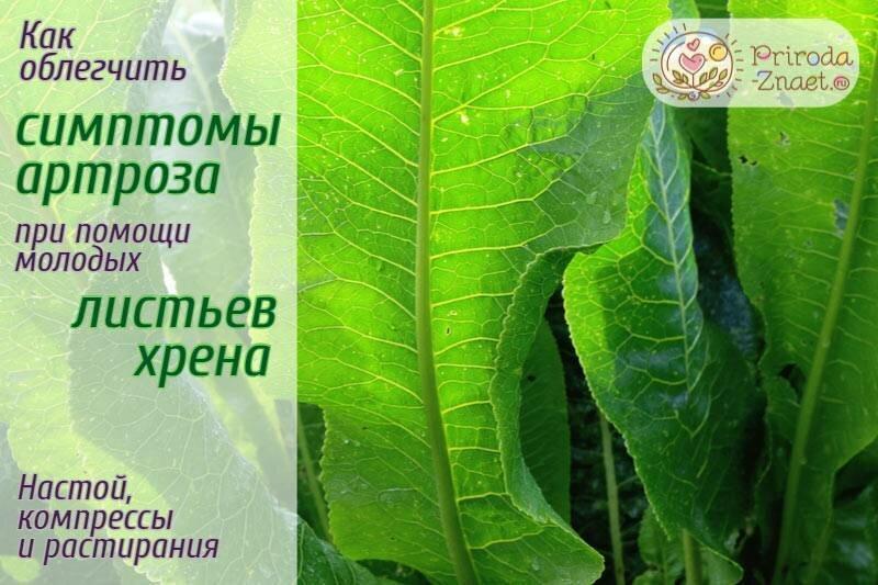 Помогают ли листья хрена при остеохондрозе?