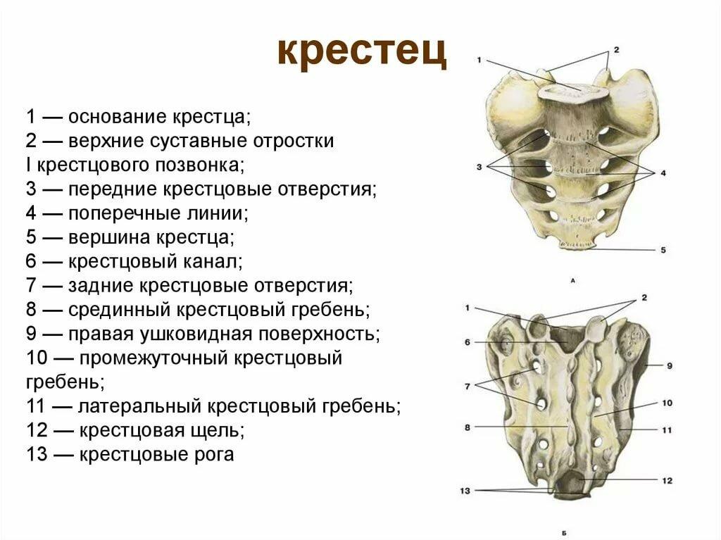 Отделы позвоночника человека, анатомия и патология