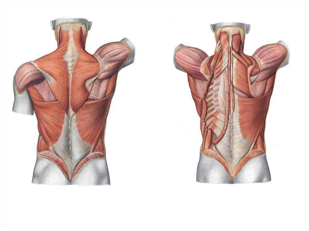 Мышцы спины — sportwiki энциклопедия