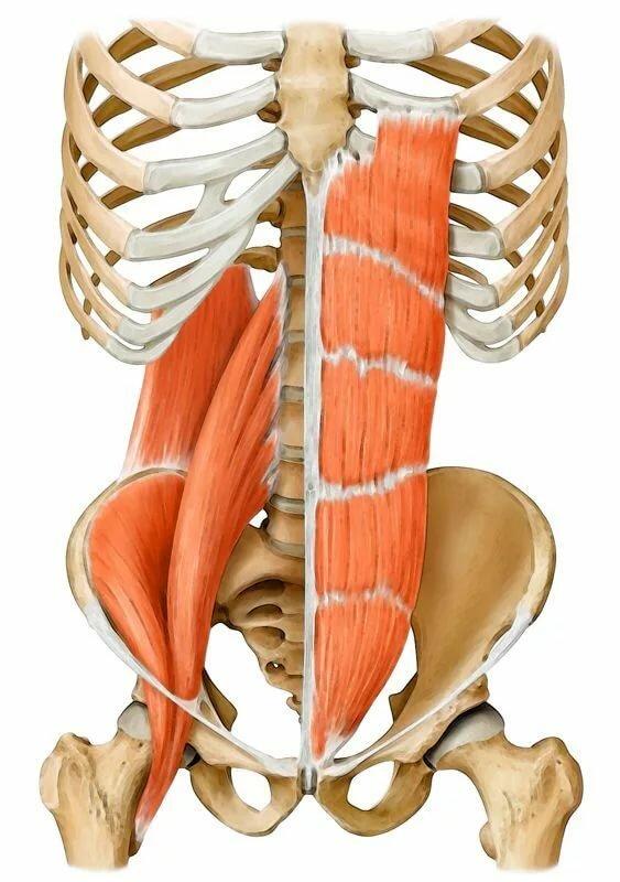 Места крепления подвздошно- поясничной мышцы